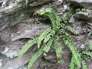 Escarpment fern
